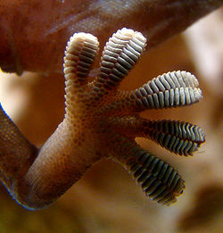 Gecko_foot_on_glass